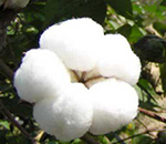 Cotton: A Special Strategy for Special Period before Spring Festival
